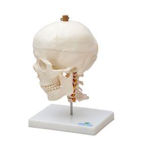 Cranio-com-Mandibula-Movel-e-Coluna-Cervical-Sdorf.jpg