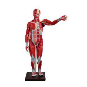 Figura-Muscular-Assexuada-de-170-com-Orgaos-Internos-em-29-Partes-Sdorf.jpg