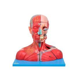 Cabeca-com-Cerebro-e-Pescoco-com-Parte-do-Tronco-Musculados-Sdorf