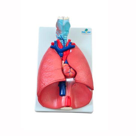 Sistema-Respiratorio-em-7-Partes-Sdorf.jpg