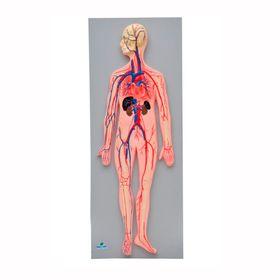 Sistema-Circulatorio-Sanguineo-Sdorf.jpg
